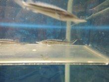 ホシチョウザメ 約5cm