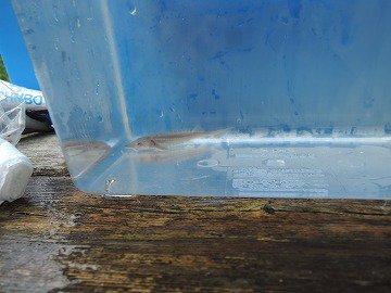 シロチョウザメ 約5cm_