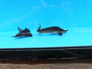 シベリアチョウザメ 約30〜40cm