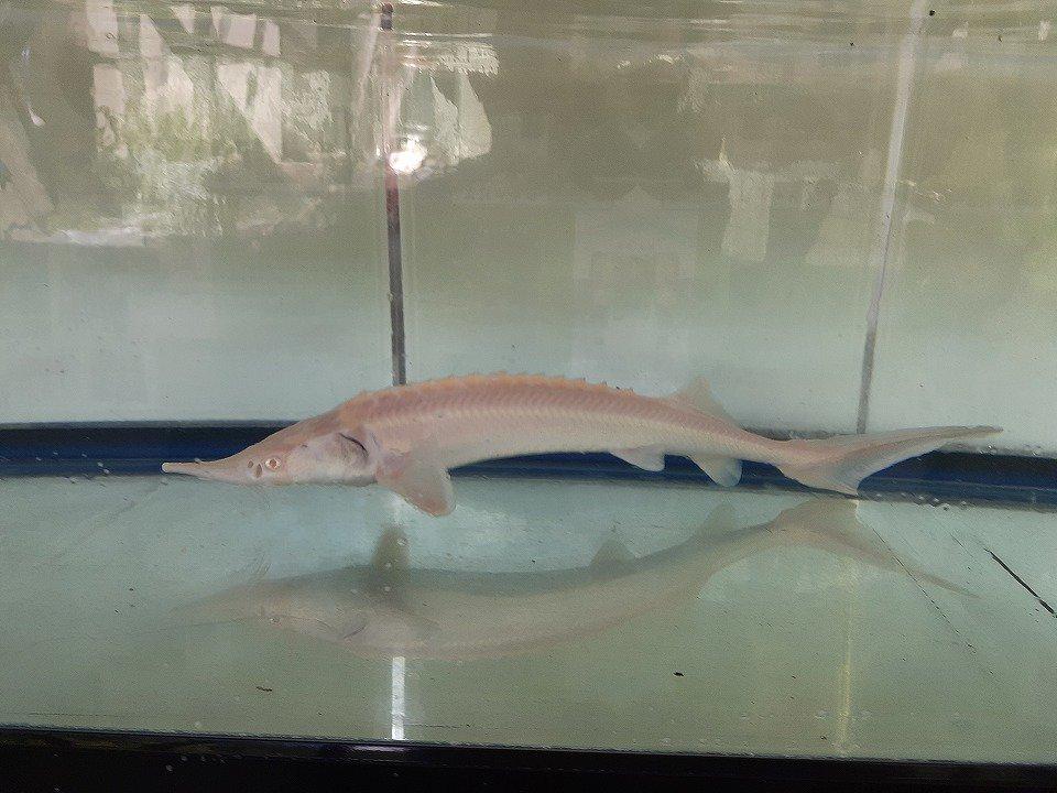 一点もの 特価 コチョウザメ 24cm(2020.05.15現在)_メイン