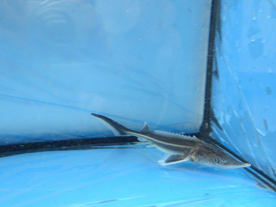 一点もの 特価 コチョウザメ 24cm(2020.05.15現在)_