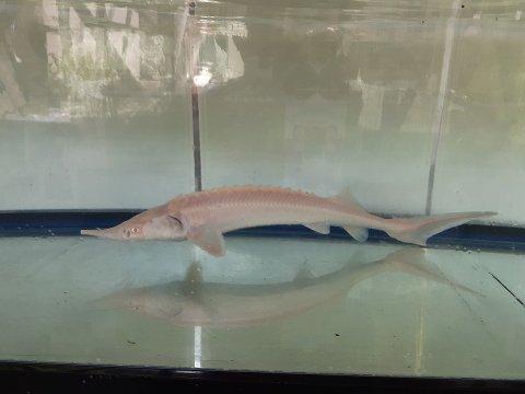 一点もの 特価 ハイブリット(シベリアチョウザメ×シロチョウザメ) 17cm(2020.03.21現在)