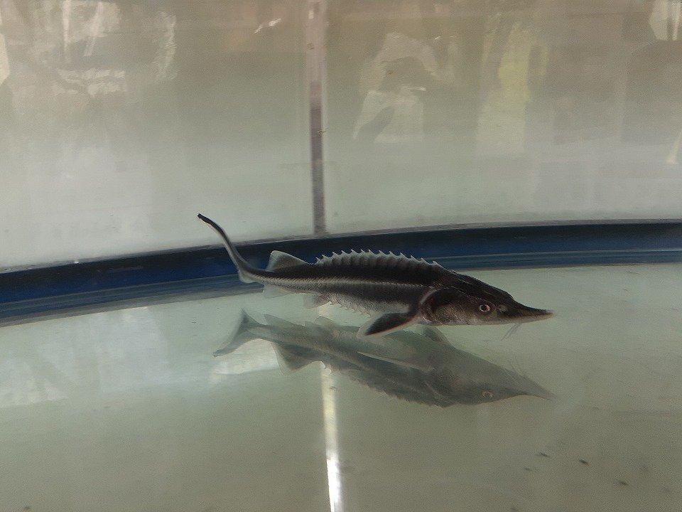 一点もの 特価 アルビノコチョウザメ 14cm(2020.03.21現在)_メイン