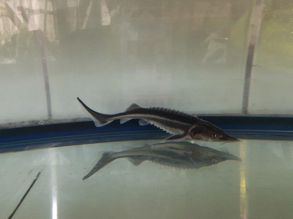 一点もの アルビノコチョウザメ 15cm(2019.05.11現在)_