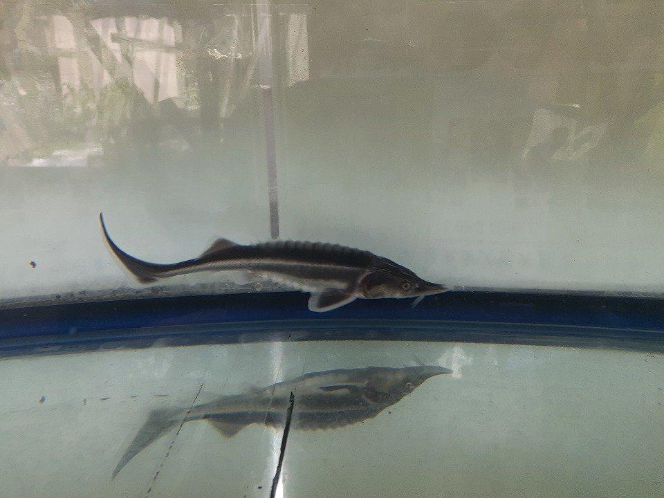 一点もの 特価 アルビノコチョウザメ 14cm(2020.03.21現在)_