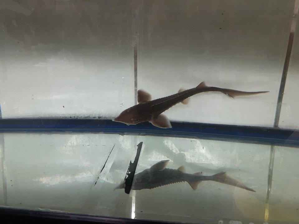 一点もの シベリアチョウザメ 37cm(2020.02.16現在)_メイン