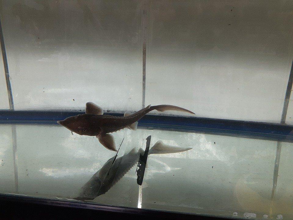 一点もの シベリアチョウザメ 37cm(2020.02.16現在)_