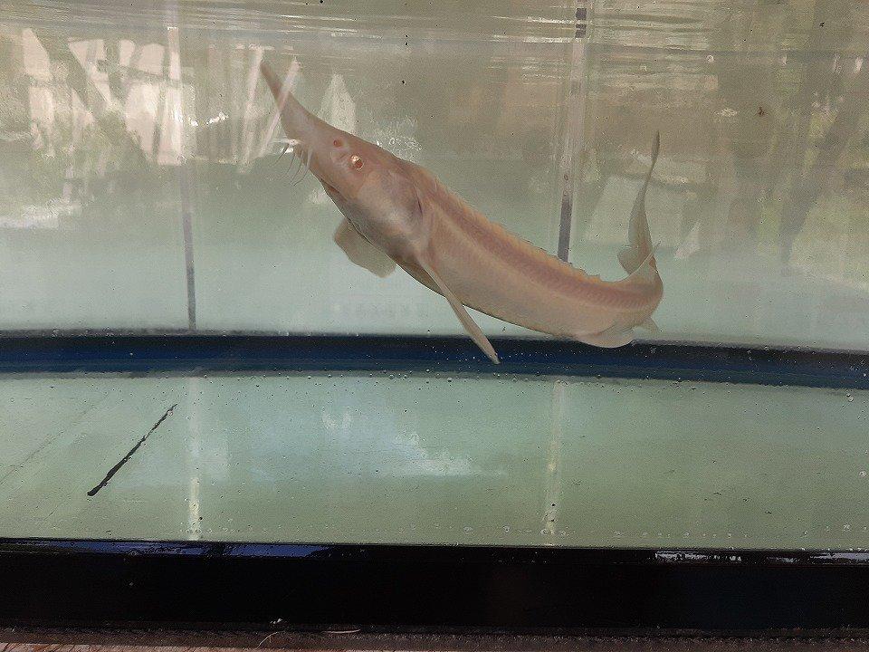 一点もの シベリアチョウザメ 13cm(2019.02.02現在)_