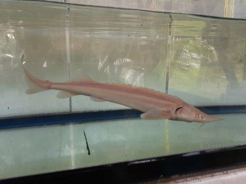 一点もの コチョウザメ 26cm(2020.07.22現在)