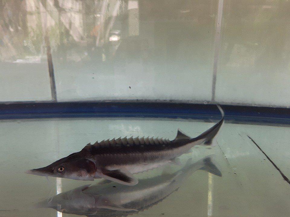 一点もの コチョウザメ 40cm(2020.05.14現在)_メイン