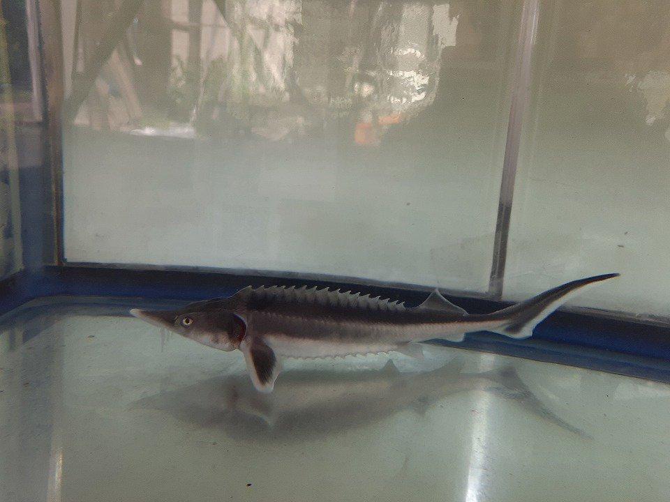 一点もの コチョウザメ 40cm(2020.05.14現在)_