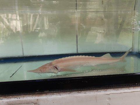 一点もの ロシアチョウザメ 46cm (2019.01.11現在)