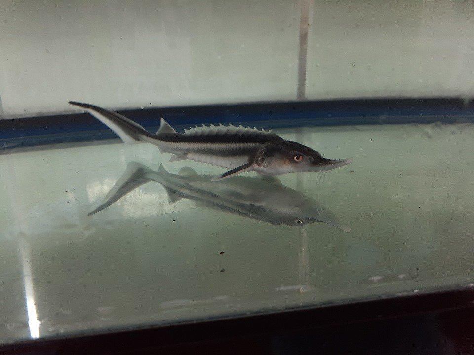一点もの アルビノコチョウザメ 17cm(2020.02.15現在)_メイン