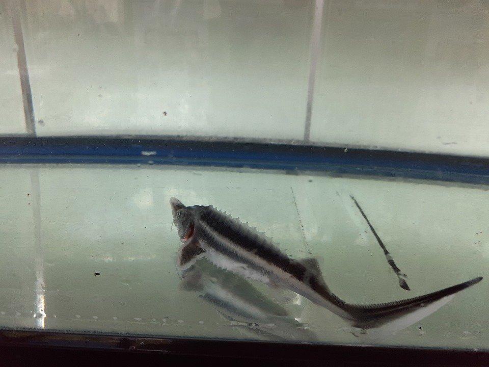 一点もの アルビノコチョウザメ 30cm(2020.09.14現在)_