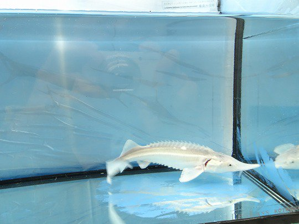 一点もの シベリアチョウザメ 15cm(2018.12.02現在)_