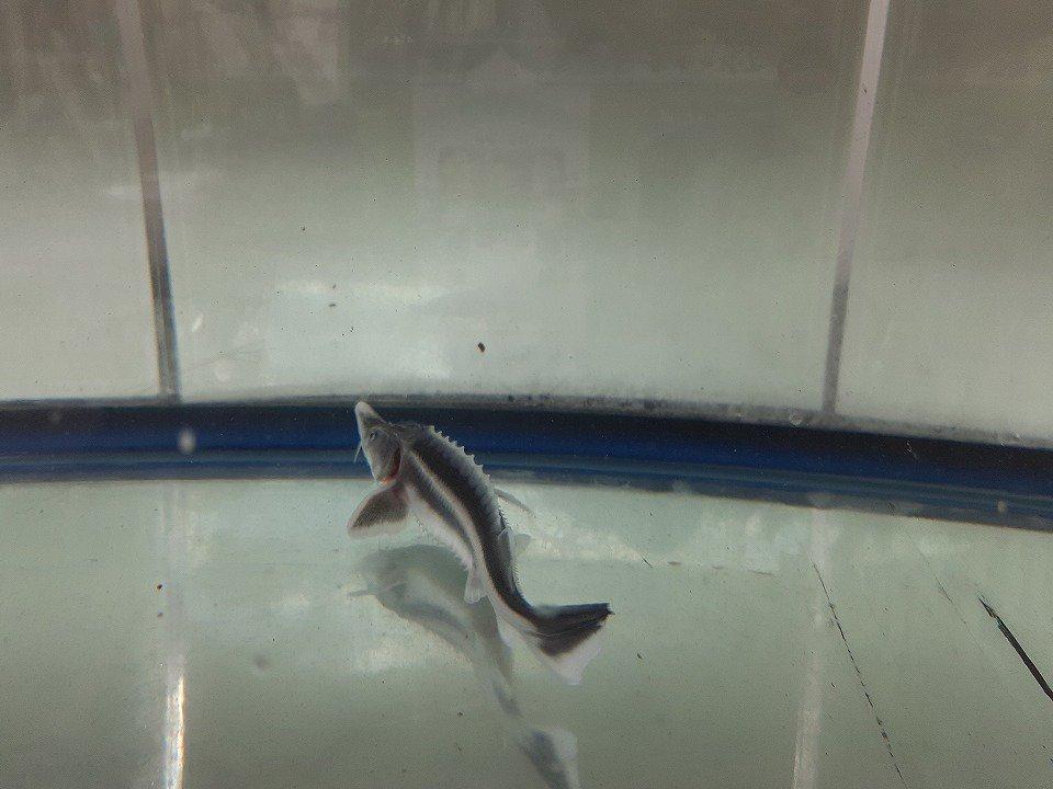一点もの アルビノコチョウザメ 29cm(2020.11.29現在)_