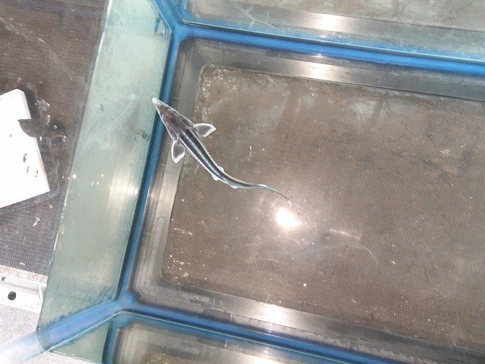 一点もの アルビノコチョウザメ 17cm(2020.02.15現在)_