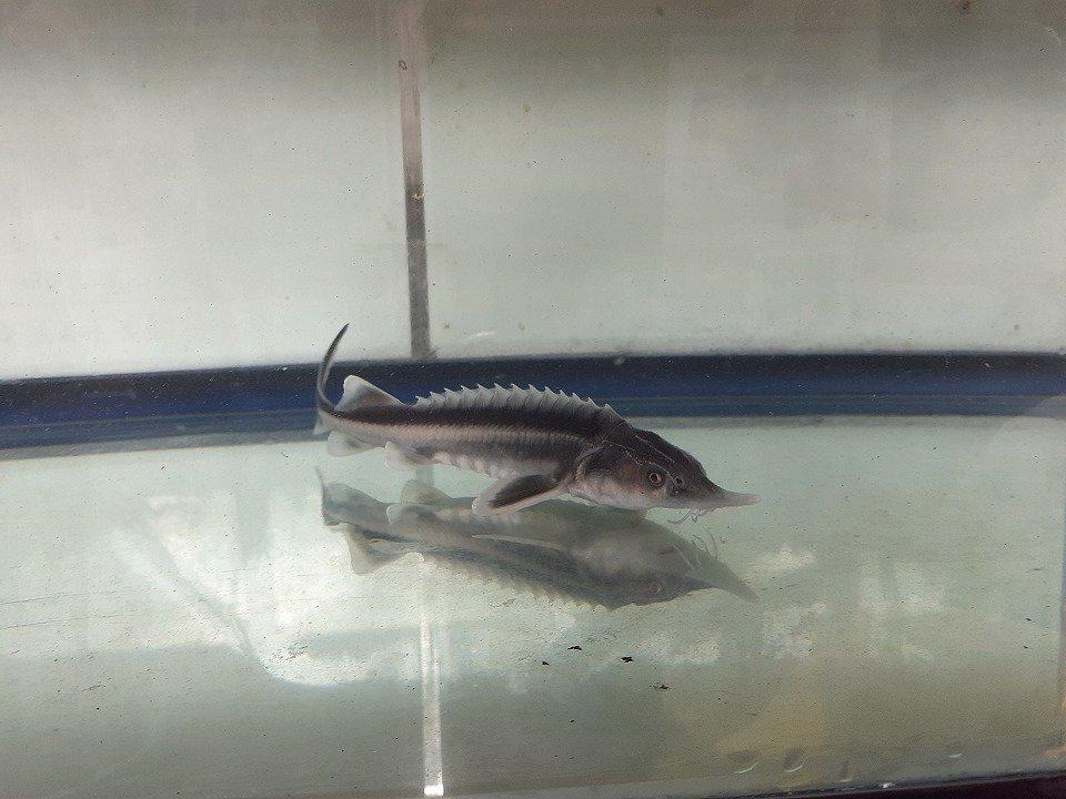 一点もの シベリアチョウザメ 37cm(2018.11.13現在)_