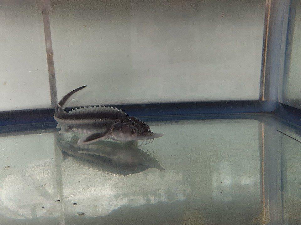 一点もの シベリアチョウザメ 37cm(2019.04.08現在)_
