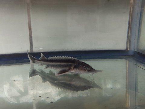 一点もの シベリアチョウザメ 12cm(2019.01.07現在)