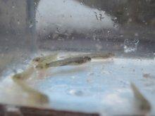 イワナ稚魚 (養殖)約1cm 5尾セット