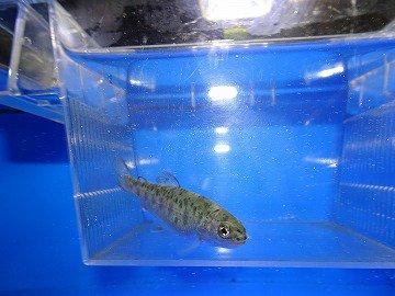 ニジマス稚魚 5〜10cm 10尾セット_