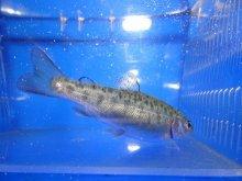 ニジマス稚魚 5〜10cm 10尾セット