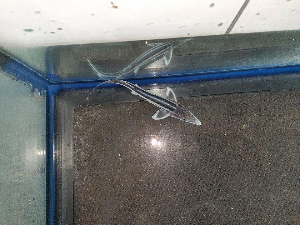 一点もの コチョウザメ 43cm(2020.11.21在)_