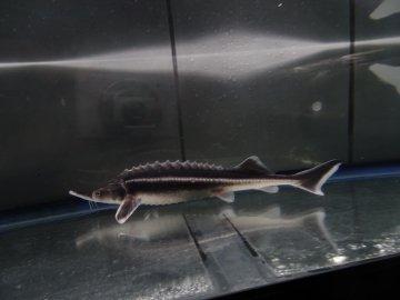 一点もの ロシアチョウザメ 42cm(2019.04.12現在)_