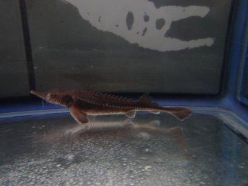 訳あり個体 シベリアチョウザメ 18cm(2020.05.15現在)_
