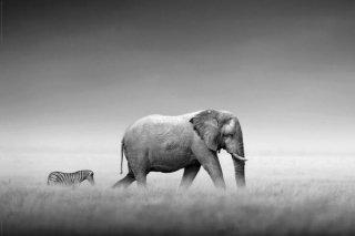 ゾウとシマウマ ポスター