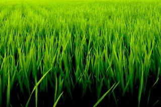 山形県酒田市・北村くらた農園の〈もち米〉2kg (送料込)