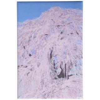缶マグネット 三春の滝桜